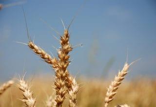 Nahaufnahme eine Weizenähre vor blauem Himmel